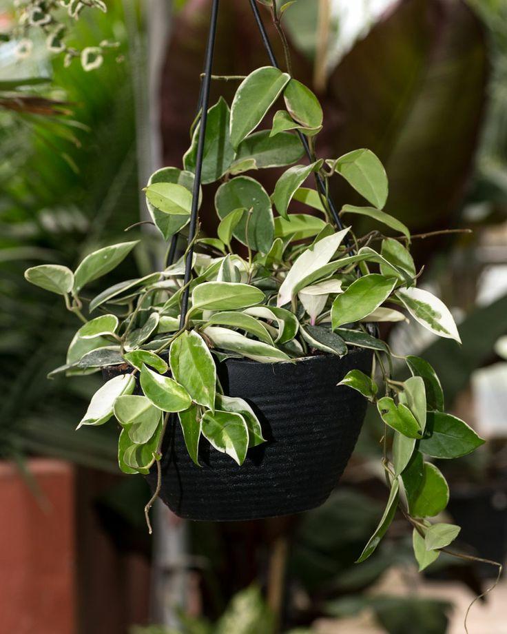 Hoya Plant Tropicals Pinterest