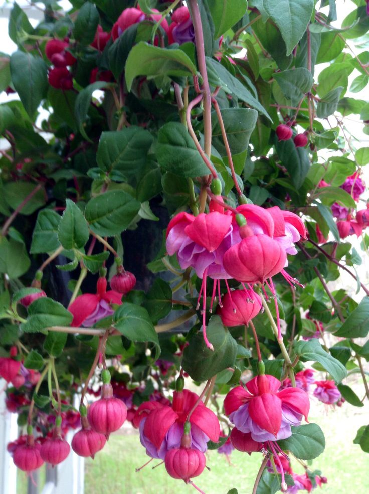 Flowers For Hanging Baskets That Attract Hummingbirds : Top hanging basket flowers that attract hummingbirds
