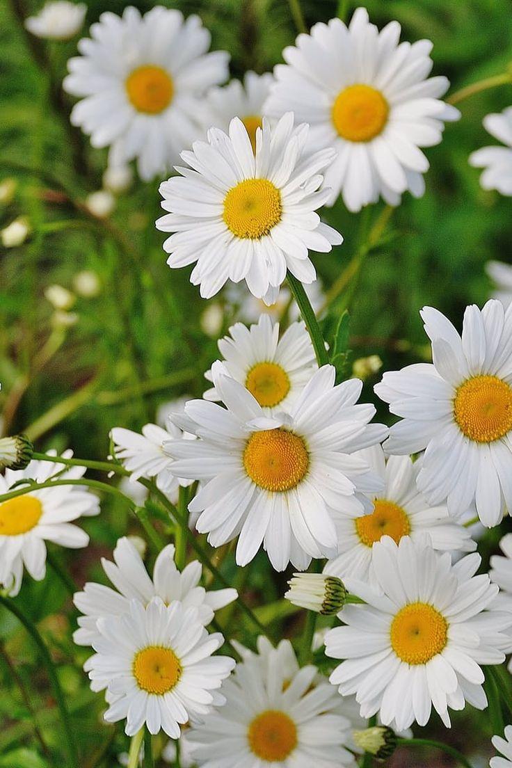 Daisy maisy flowers choice image flower wallpaper hd daisy maisy flowers choice image flower wallpaper hd daisy maisy flowers gallery flower wallpaper hd daisy izmirmasajfo