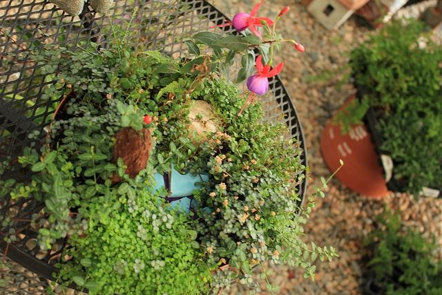 Fairy garden plants fairy pinterest Fairy garden plants