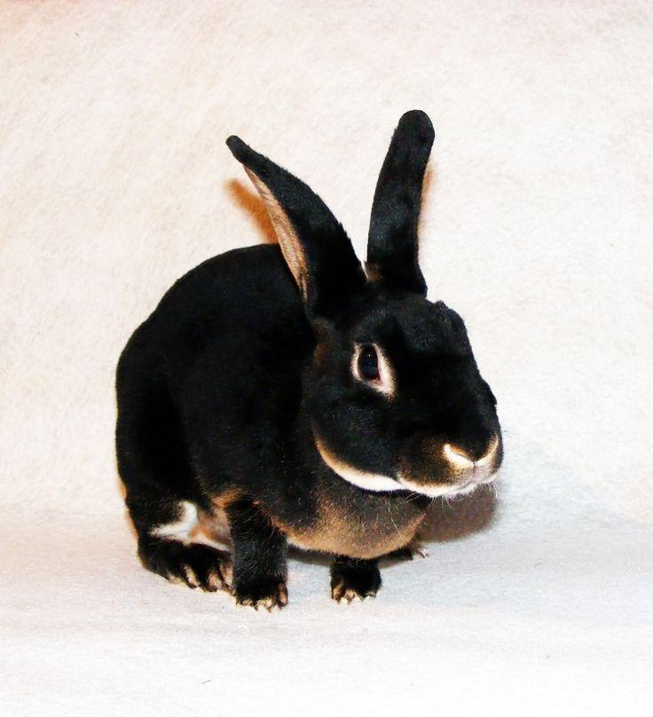 Esme        Black Otter Mini Rex Doe Black Mini Rex Rabbits