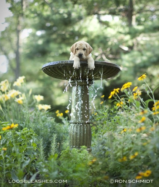 Goldie thought his luck would increase if he threw himself into the fountain instead of a rusty penny.