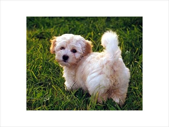 Teacup Havanese Puppy.   Havanese   Pinterest