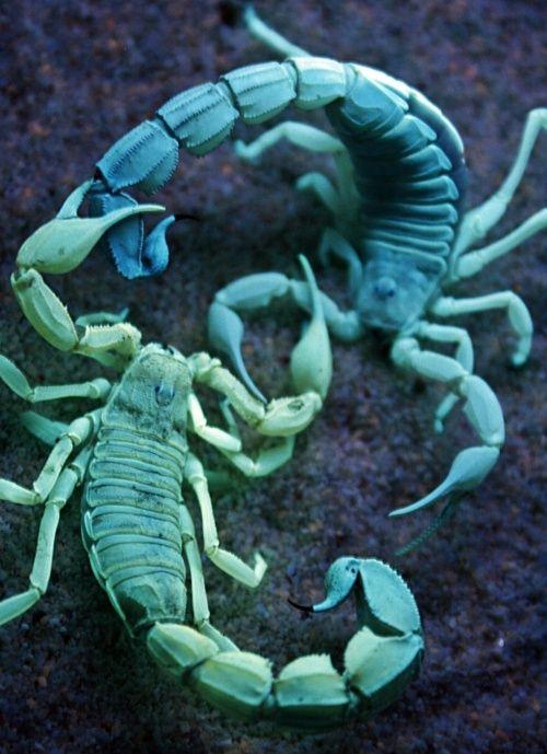 Flourescent scorpions