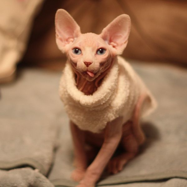 Pictures Of Sphynx Cat In Sweater Kidskunstinfo
