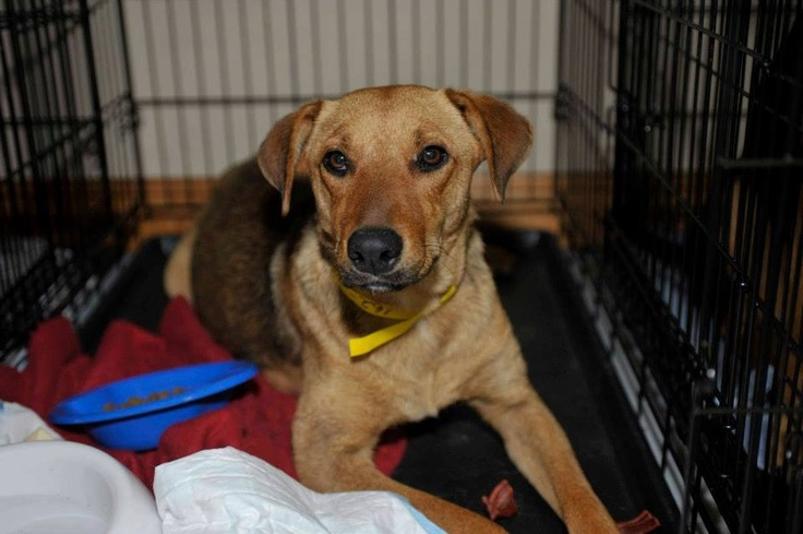 Tan lab mix – located at Animal Resource Center