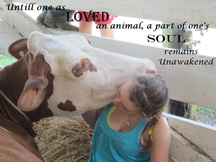 Dairy show cow quotes   4-H Showing   Pinterest I Love Moo Cow