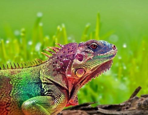 Rainbow Iguana! | Inspiration: Random Rainbows & Coolness! | Pinterest: pinterest.com/pin/17099673555508224