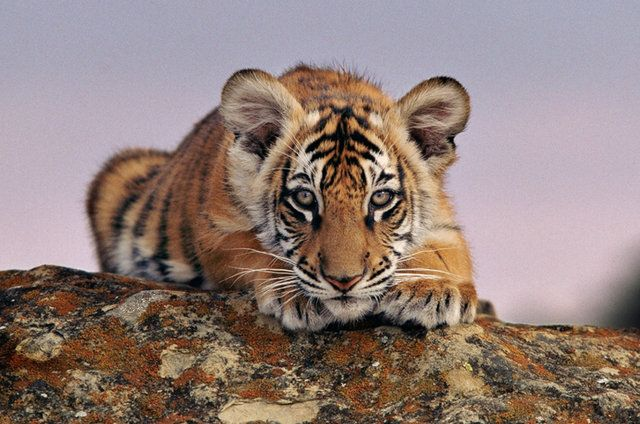 Baby tigers face - photo#5