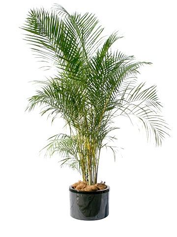 Areca palm golden palm non toxic garden pots for Low light non toxic house plants