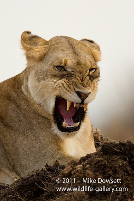 angry lioness - photo #4