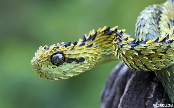 Hairy bush viper