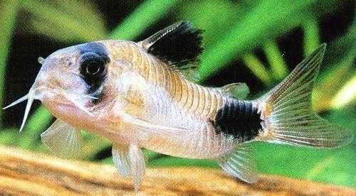 Panda Cory Catfish- Minimum tank size- 15 gallons. keep in groups of 4 ...