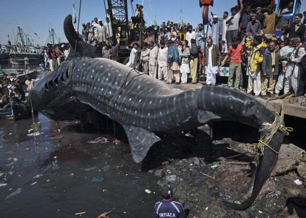 OMG... dont think I will be swimming anywhere near Karachi, Pakistan.  That is one big whale shark!!