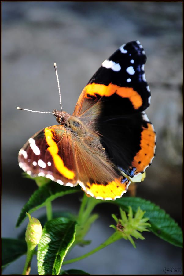 Red Admiral Butterfly | Butterflies and Winged Things | Pinterest