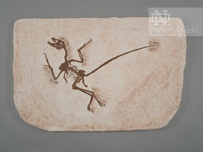 microraptor prehistoric fossils pinterest