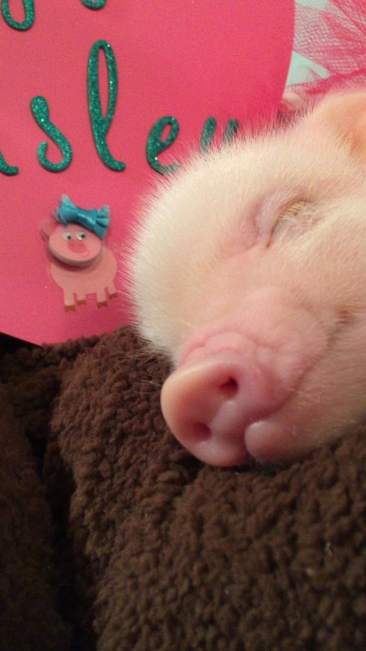 Mini Pig  A Cute Micro Pig Videos Compilation 2016  NEW HD