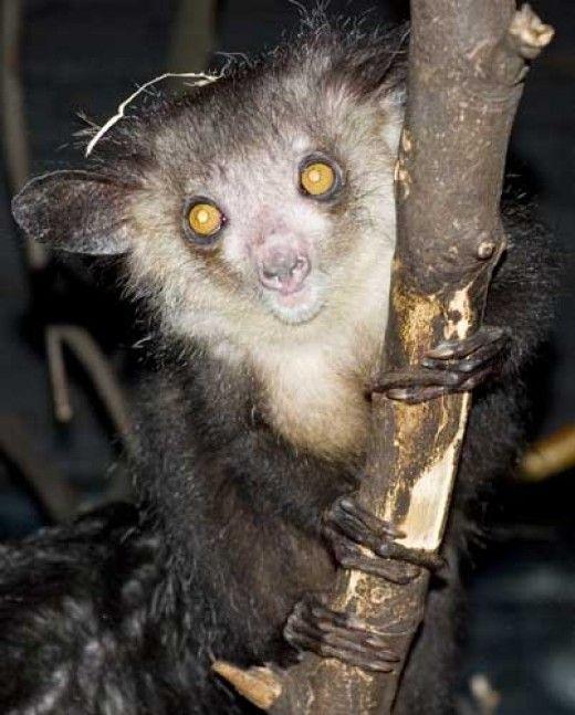 Aye Aye Lemur | Animals | Pinterest