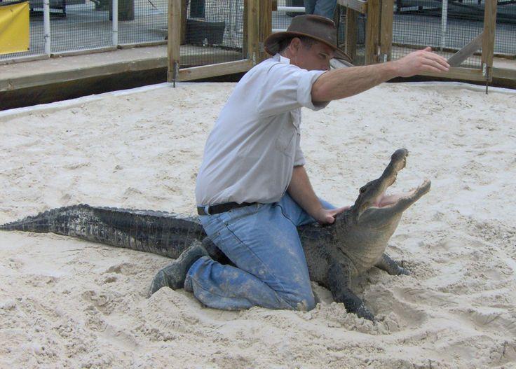 Gator wrestling at Gatorland Florida