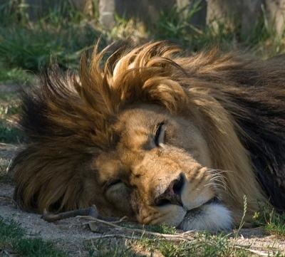 lion animal brown 1366x768 -#main