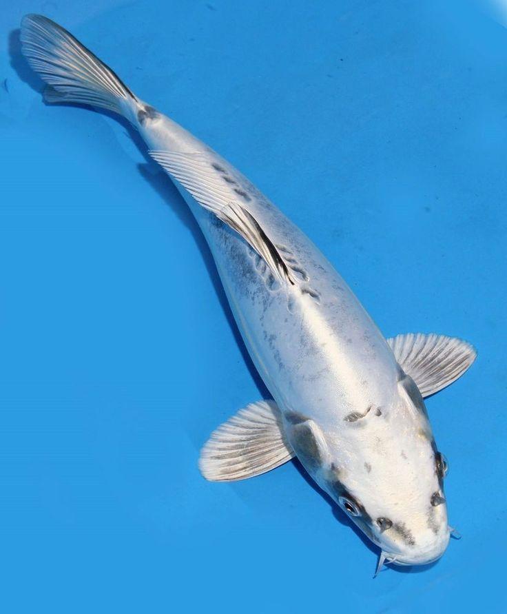 Live koi fish 10 11 doitsu scaleless white matsuba koibay for Where to get koi fish