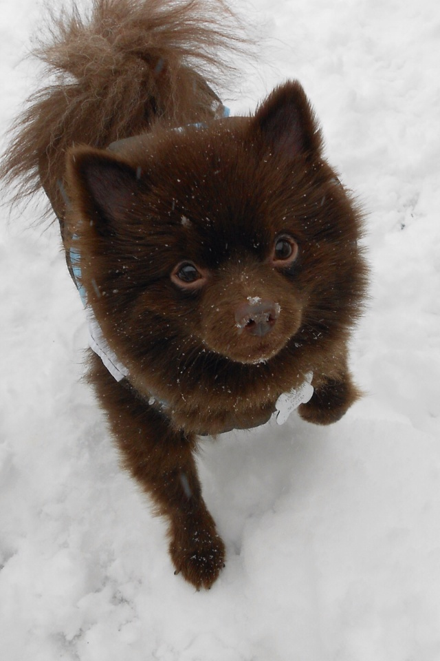 Brown pomeranian - photo#3