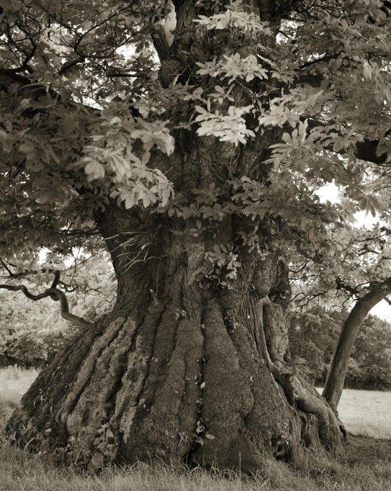 Beth Moon - Croft Castle Chestnut