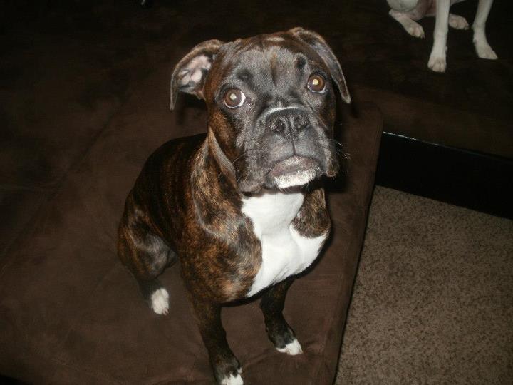 Luna a reverse brindle boxer boxer dog mom pinterest for Brindle boxer