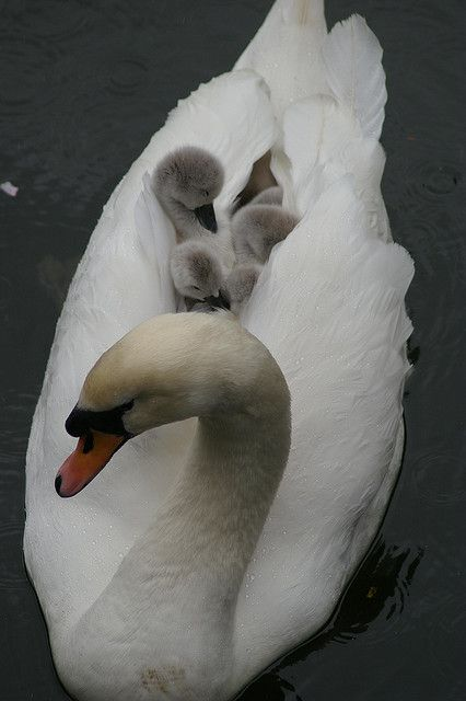 swan mom, #cute, #animal - swim Mom...we want to see the other side of the lake....