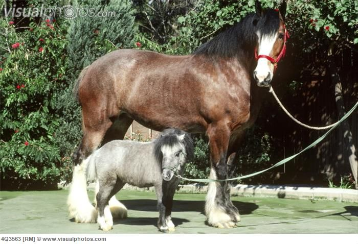 Clydesdale and Miniature horse..cute | All creatures ...