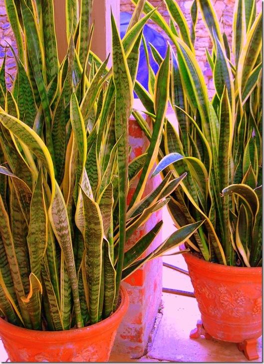 mother in law 39 s tongue indoor plants pinterest