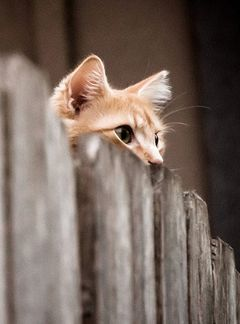 Peeping Tom cat