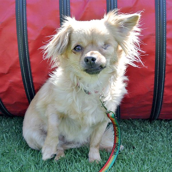 Luna, Long Hair Chihuahua Mix, 03/28/14   HSSV Dogs 3000 ...