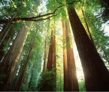 Redwood Trees, Jedediah Smith National Park, California  On my travel bucket list