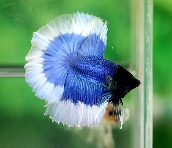 Blue Butterfly Halfmoon | Fish | Pinterest