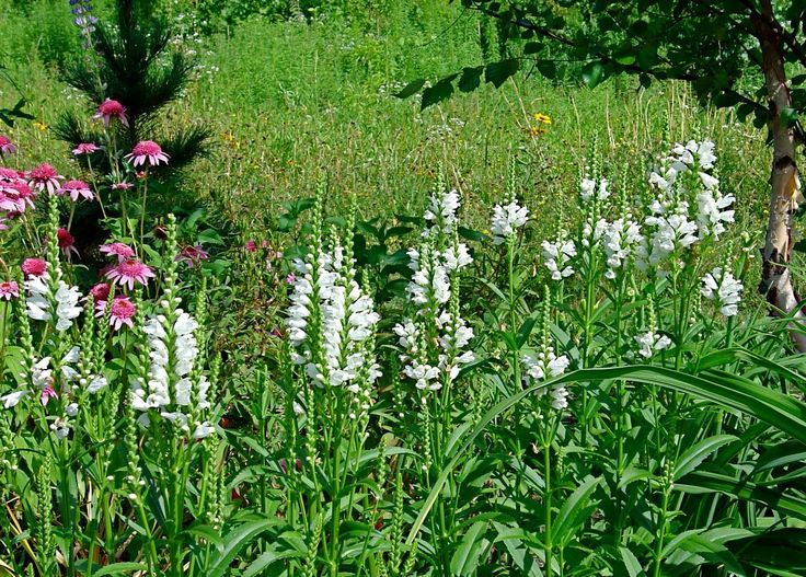 Physostegia 'Miss Manners' | Walled Garden Plant Palette ...