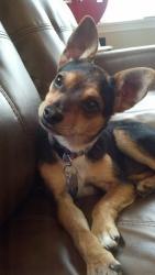 Miniature Pinscher/Chihuahua Mix   Aww Presh!   Pinterest