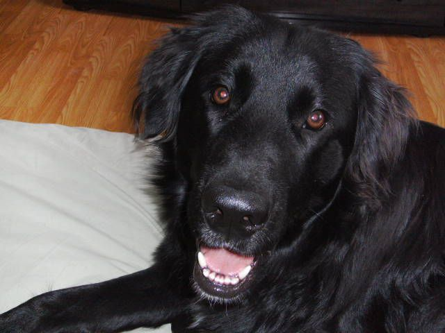 newfie/lab mix - looks like a bigger version of Luther