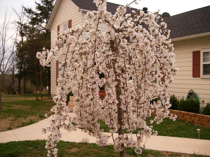 Weeping cherry tree gardening pinterest for Weeping trees for small gardens