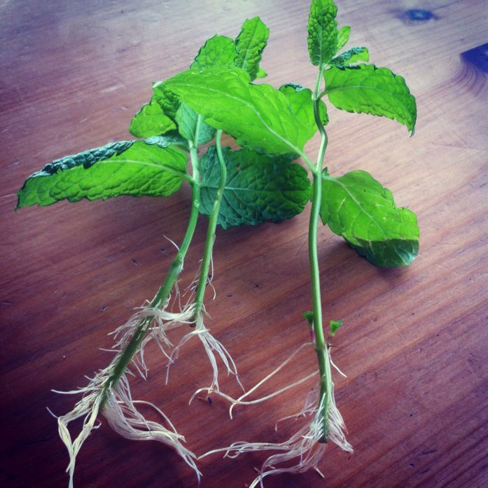 Root For Mint Recipe — Dishmaps