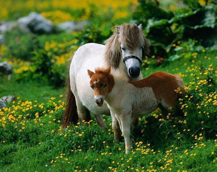 Cute Baby | Minature horses | Pinterest