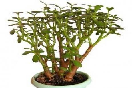 Planta del dinero plantas pinterest - Planta china del dinero ...