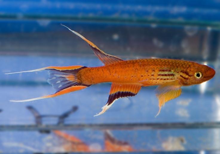 Cape Lopez Lyretail killifish Aquascaping, Paludarium, Aquarium, Vi ...