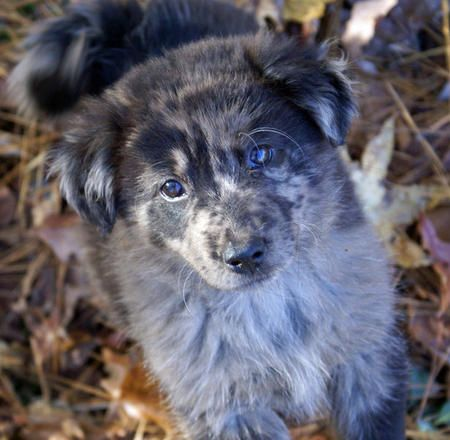chow chow border collie mix - photo #15