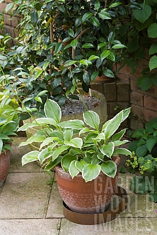 Hosta in pot with copper slug & snail barrier