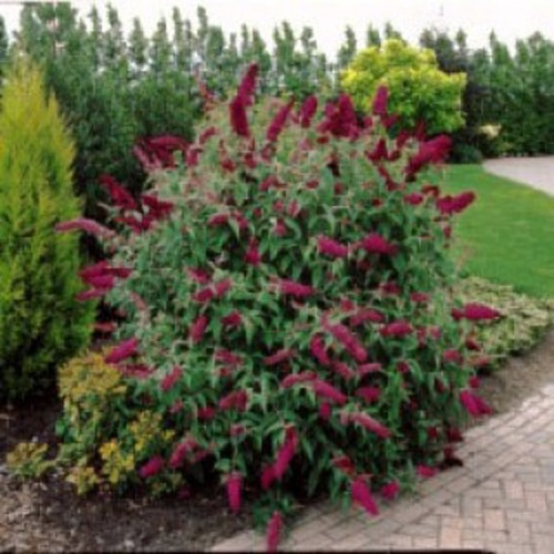 Royal Red Butterfly Bush Front Landscape Pinterest