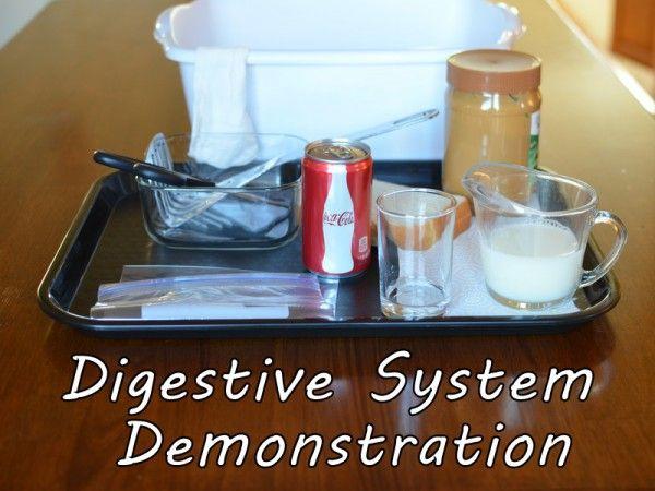 Digestive System Demonstration Supplies