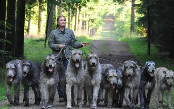Irish wolfhound | All creatures great and small | Pinterest