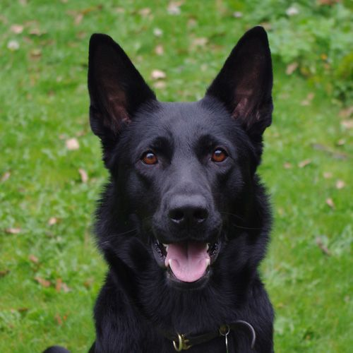 Quotes About Black German Shepherds Quotesgram