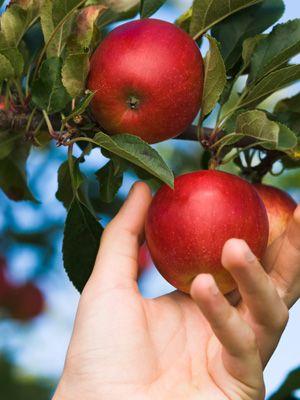 go apple picking.